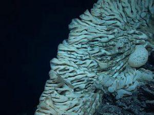 Foto de 12 de Agosto de 2015 mostra esponja fotografada a 7 mil pés no Monumento Nacional Marinho Papahanaumokuakea, no Havaí. Foto: NOAA Office of Exploration and Research/Hohonu Moana 2015 via AP