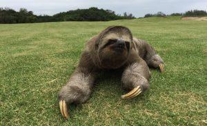 Bicho-preguiça onde será a disputa do golfe na Olimpíada. Foto: Divulgação