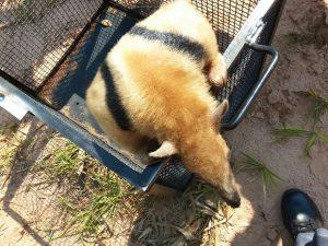 Animal foi solto na natureza após o resgate. Foto: Corpo de Bombeiros/ Divulgação