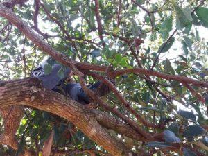 Bombeiros fizeram resgate do tamanduá em cima da árvore. Foto: Corpo de Bombeiros/ Divulgação