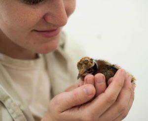 Primeiro filhote de macuco reproduzido em cativeiro no Parque das Aves, em Foz do Iguaçu (PR), nasceu na tarde de sábado (6). Foto: Parque das Aves / Divulgação