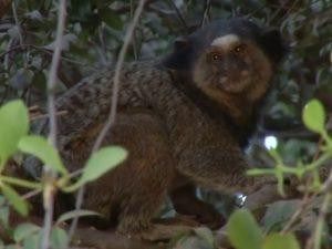 Macaco morre com febre amarela e Luziânia reforça vacinação. Foto: Reprodução/TV Anhanguera