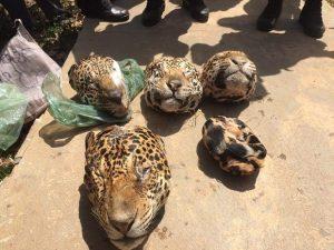 Caça ilegal: foram encontradas cabeças de cinco onças pintadas e uma de onça Suçuarana. Foto: Ascom/PC
