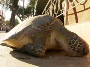Tartaruga é abandonada em Jardim da Penha. Foto: Oliveira Alves/ TV Gazeta