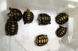 Tartarugas e jabutis estão entre animais mais apreendidos e resgatados pelo IAP. Foto: Divulgação/IAP