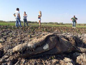 Jacarés morrem presos na lama após lago secar. Foto: Cassiano Rolim/TV Anhanguera