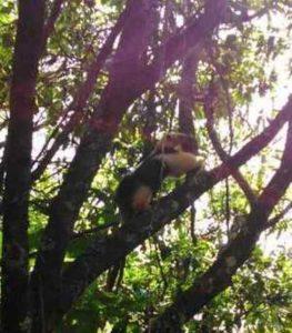 Já o tamanduá mirim, recuperado de ferimentos, retornou ao seu habitat. Foto:Polícia Militar de Meio Ambiente/Divulgação