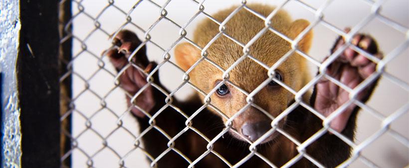 Muitos animais são encontrados extremamente debilitados, doentes, com asas cortadas, bicos ou dentes quebrados
