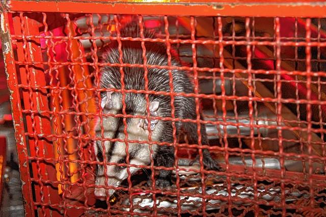 Na foto, um gambá capturado no Núcleo Geisel, em junho de 2015. Espécie típica do cerrado, mas cada vez mais adaptada ao meio urbano, o chamado gambá-de-orelha-branca ou saruê já é facilmente encontrado em vários bairros de Bauru.