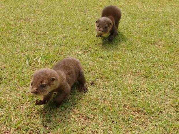 Entre os animais resgatados estão dois filhotes de lontras (Foto: Divulgação/Polícia Militar)