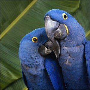 Além do Projeto Arara Azul, reconhecido internacionalmente, o Instituto desenvolve o Projeto Aves Urbanas – Araras na Cidade, que realiza o monitoramento e manejo de araras - principalmente da espécie Arara-canindé, comuns no céu de Campo Grande.  Foto: Reprodução