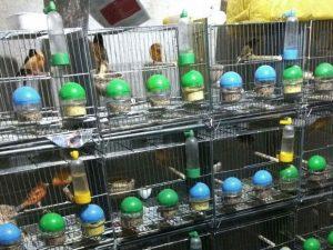 Aves foram apreendidas durante ação contra tráfico de animais silvestres. Foto: Divulgação/Polícia Federal