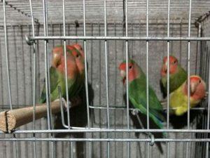 33 aves silvestres foram apreendidas em operação da PF na Grande SP. Foto: Divulgação/Receita Federal