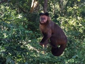 Macacos são os principais hospedeiros do vírus da febre amarela. Foto: Graciela Andrade/TV TEM
