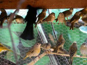 Canários e pássaros pretos eram mantidos em cativeiro. Foto: PM/Divulgação