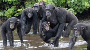 Os chimpanzés foram abandonados com poucas chances de se alimentarem sozinhos. Foto: Jenny Desmond/Divulgação