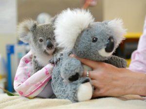 A coala Shayne com o bicho de pelúcia que a está ajudando a superar o trauma da perda da mãe. Foto: Ben Beaden/Australia Zoo/AFP
