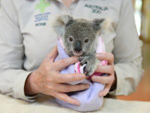 A coala Shayne, que sobreviveu a um acidente que matou sua mãe atropelada. Foto: Ben Beaden/Australia Zoo/AFP