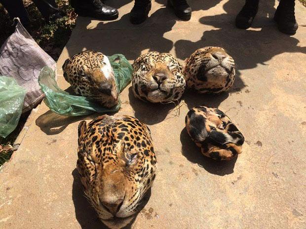 Cabeças de onça encontradas no Pará. Foto: ASCOM/PC