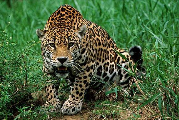 Cabeças  e  couros  de  onça  pintada,  que está  na lista de animais ameaçados  de  extinção, foram  encontrados em  uma  operação  policial  na  zona  rural  de  Curionópolis. (   Divulgação/CIGS)