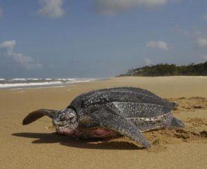 Tartaruga-de-couro, que vive nos trópicos, perto da costa Foto: Divulgacão