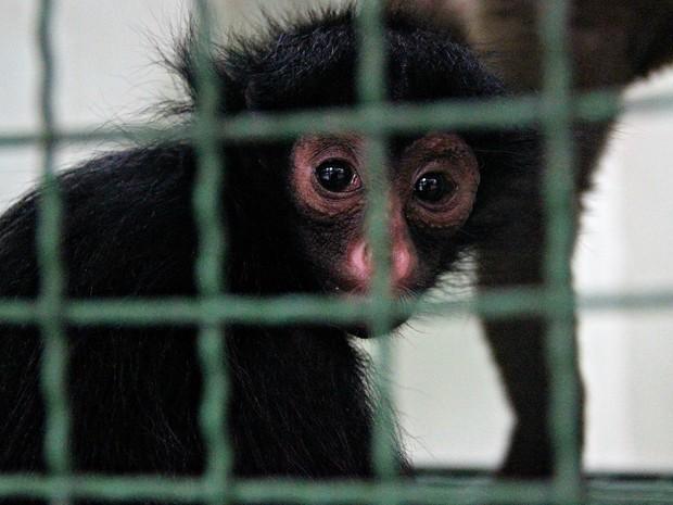 Filhotes de macacos são retirados da natureza e criados como animais de estimação (Foto: Suelen Gonçalves/ G1 AM)