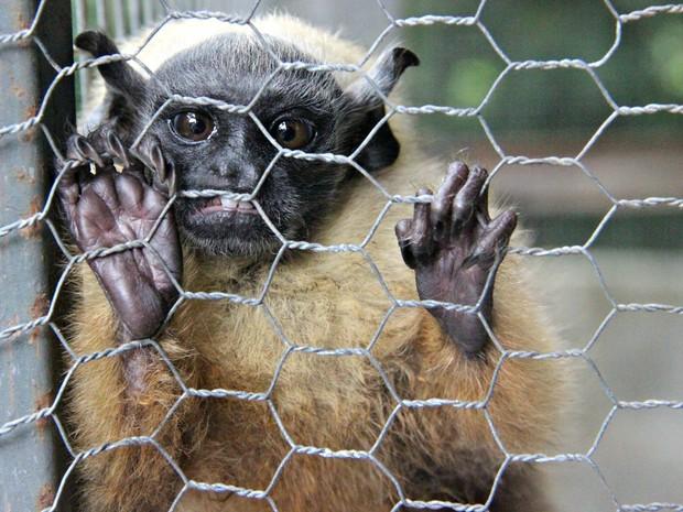 Sauim de coleira está em risco de extinção (Foto: Suelen Gonçalves/ G1 AM)