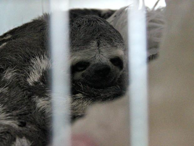 Preguiças costumam ficar feridas ao tentar se locomover por fios de eletricidade (Foto: Suelen Gonçalves/ G1 AM)