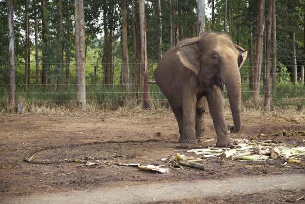 O tráfico de vida selvagem ameaça a biodiversidade do planeta e coloca em perigo de extinção espécies como os elefantes, os rinocerontes e os tigres. (Divulgação: Santuário de Elefantes Brasil)