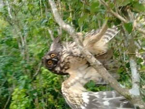 Coruja Mocho-Diabo ficou presa em linha de pipa  em árvore em Mogi das Cruzes  (Foto: Débora Lima/ Arquivo Pessoal)