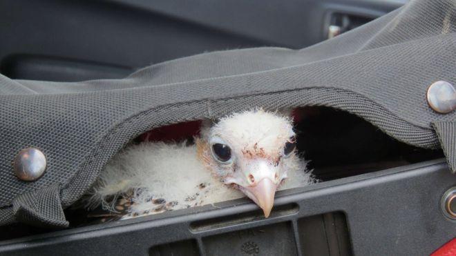 Jeffrey Lendrum, de 55 anos, se especializou em roubar ovos de falcões peregrinos