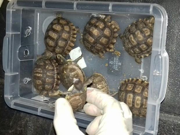 Veterinário não tinha autorização para transportar tartarugas e cágados (Foto: Divulgação/PRF)