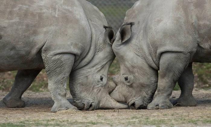 Rinoceronte de zoológico em Paris foi morto e teve chifre arrancado - ARTHUS BOUTIN / Divulgação zoológico de Thoiry