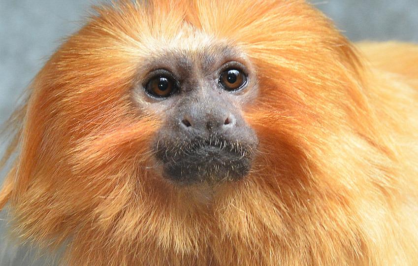 O Mico-leão-dourado Golden (Leontopithecus rosalia), espécie símbolo da Mata Atlântica fluminense.