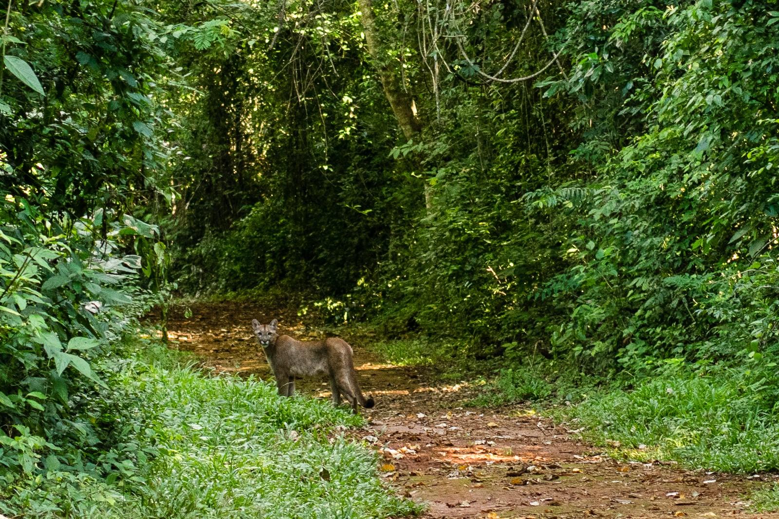 Suçuarana é flagrada no Parque Estadual Vassununga, no interior de SP (Foto: Humberto Mauro/VC no TG)