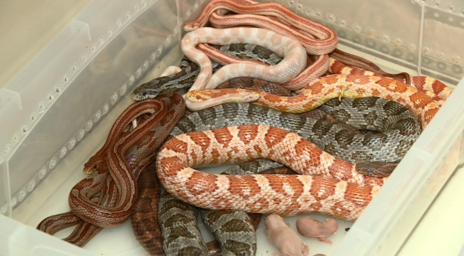 Serpentes e ratos foram encontrados na residência em Americana (Foto: Reprodução EPTV)