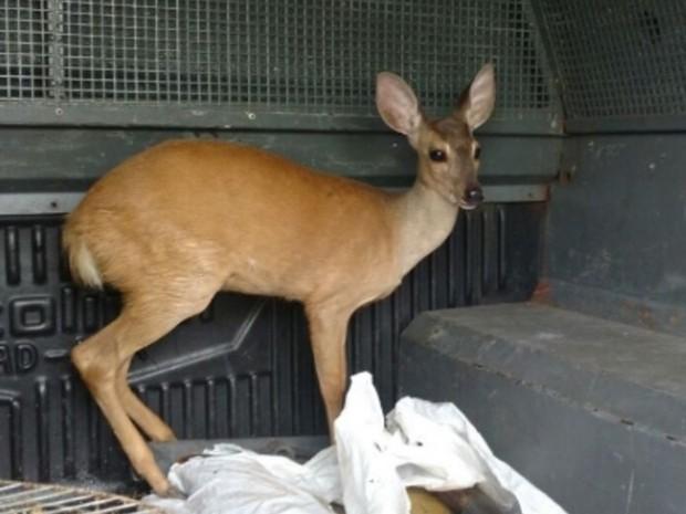 Dentre os animais apreendidos estavam uma arara Vermelha e um veado Catingueiro (Foto: SSPDS)