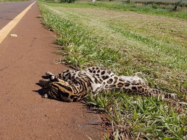 Animal morto entre Sidrolândia e Nioaque. (Foto: Direto das Ruas)