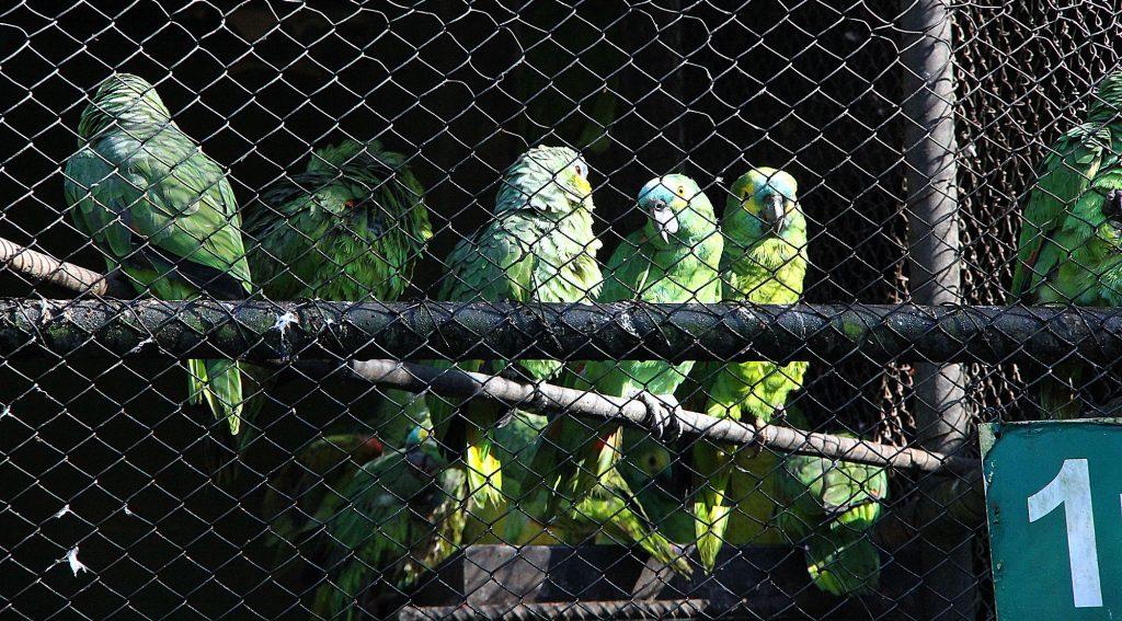 Aves são animais mais traficados - Foto: Edemir Rodrigues