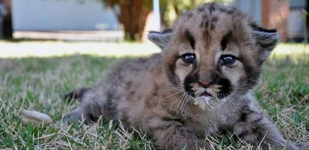 Filhote de onça-parda foi encaminhado para zoológico municipal da cidade do interior de SP.