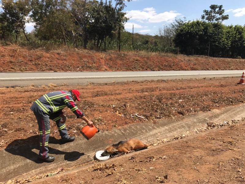 Lobo-guará é encontrado ferido em canteiro central na BR-153
