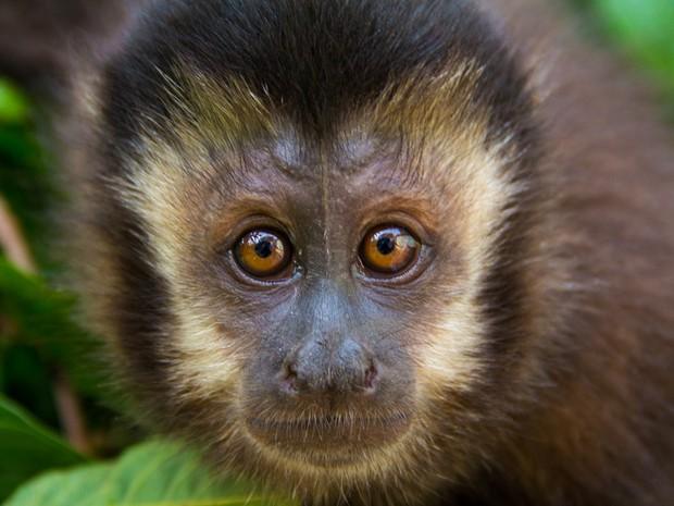 Macaco-prego, uma das principais vítimas do surto de febre amarela.