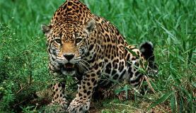 Onça pintada está na lista de animais ameaçados de extinção Divulgação/Centro de Instrução de Guerra na Selva
