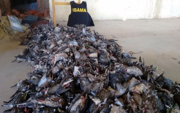 Aves apreendidas pelo Ibama (Foto: Divulgação/Ibama )