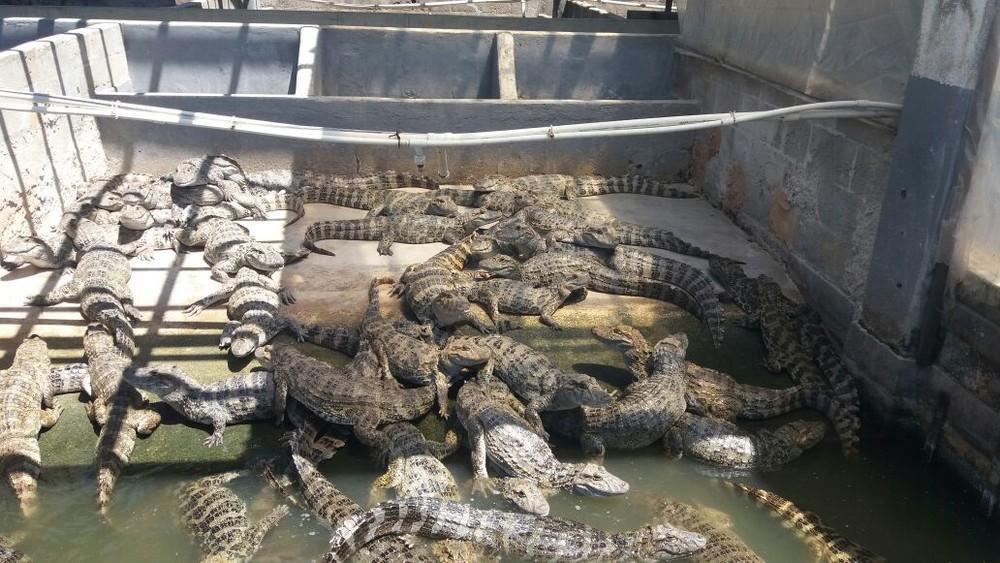 Jacarés encontrados em Barra Mansa (Foto: Rose Gomes/TV Rio Sul)