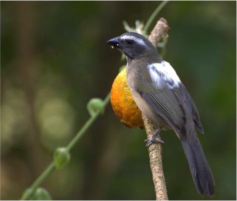 Espécime de trinca-ferro verdadeiro, uma das aves mais visadas por grupos criminosos.