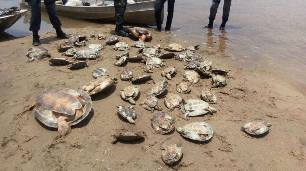 Adolescentes foram flagrados pescando tartarugas para vender; 60 animais foram resgatados em Novo Santo Antônio (Foto: Sema)