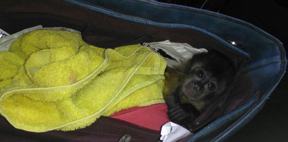 Polícia Militar Ambiental prendeu traficante de animais silvestres no interior do Estado com claros sinais de maus tratos.