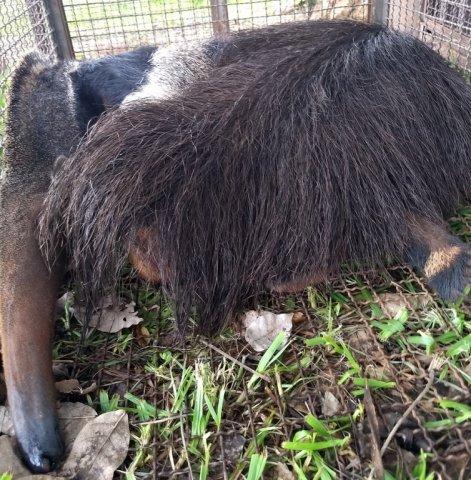 Tamanduá ferido na gaiola de transporte para o Cras (Foto: PMA/Divulgação)