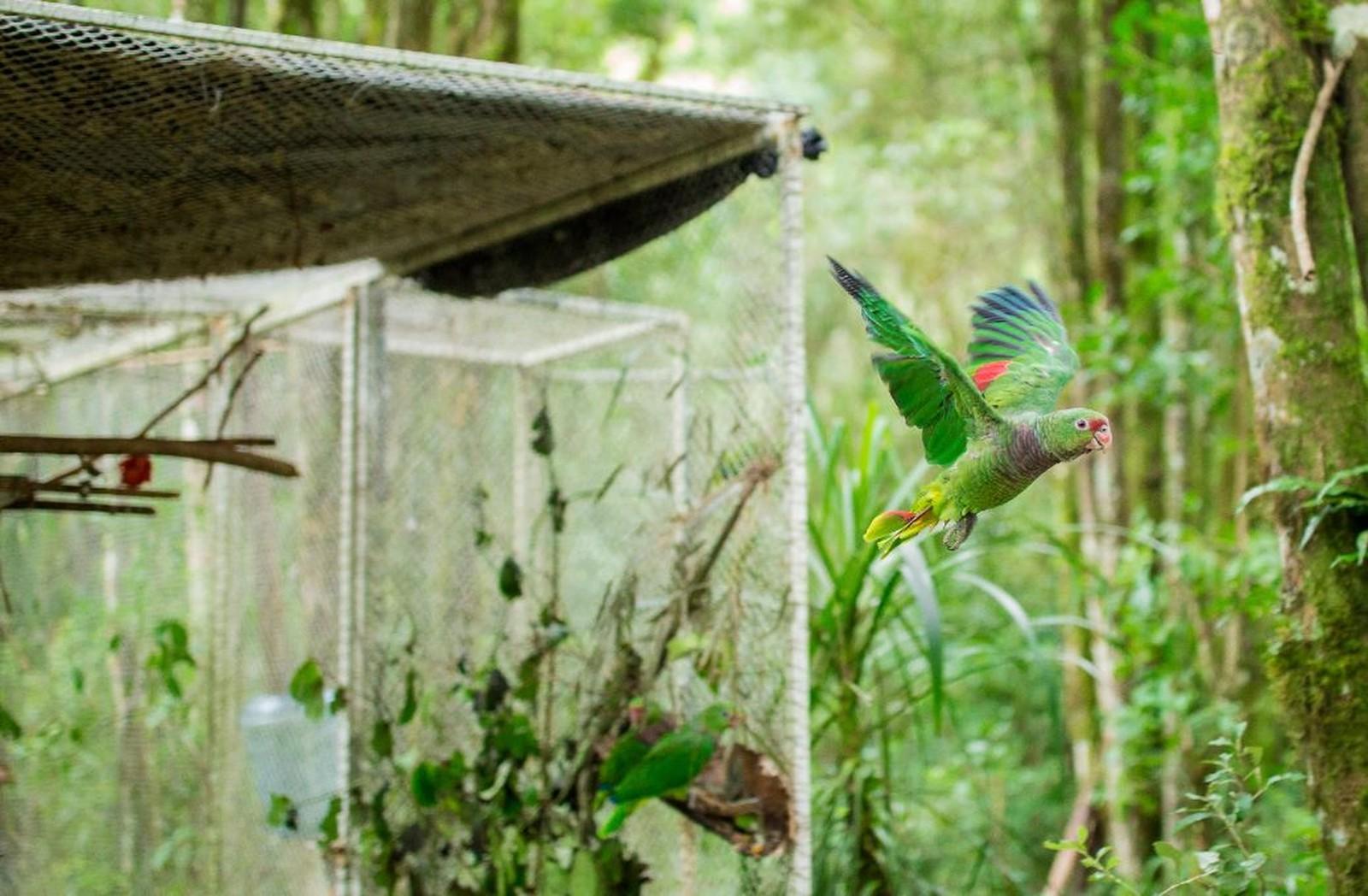 Os papagaios são colocados em um viveiro até que optem por ficar na floresta — Foto: Gabriel Brutti / Acervo Pessoal